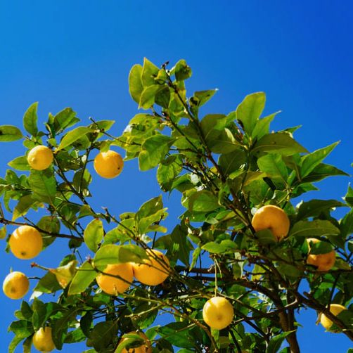 citron_01