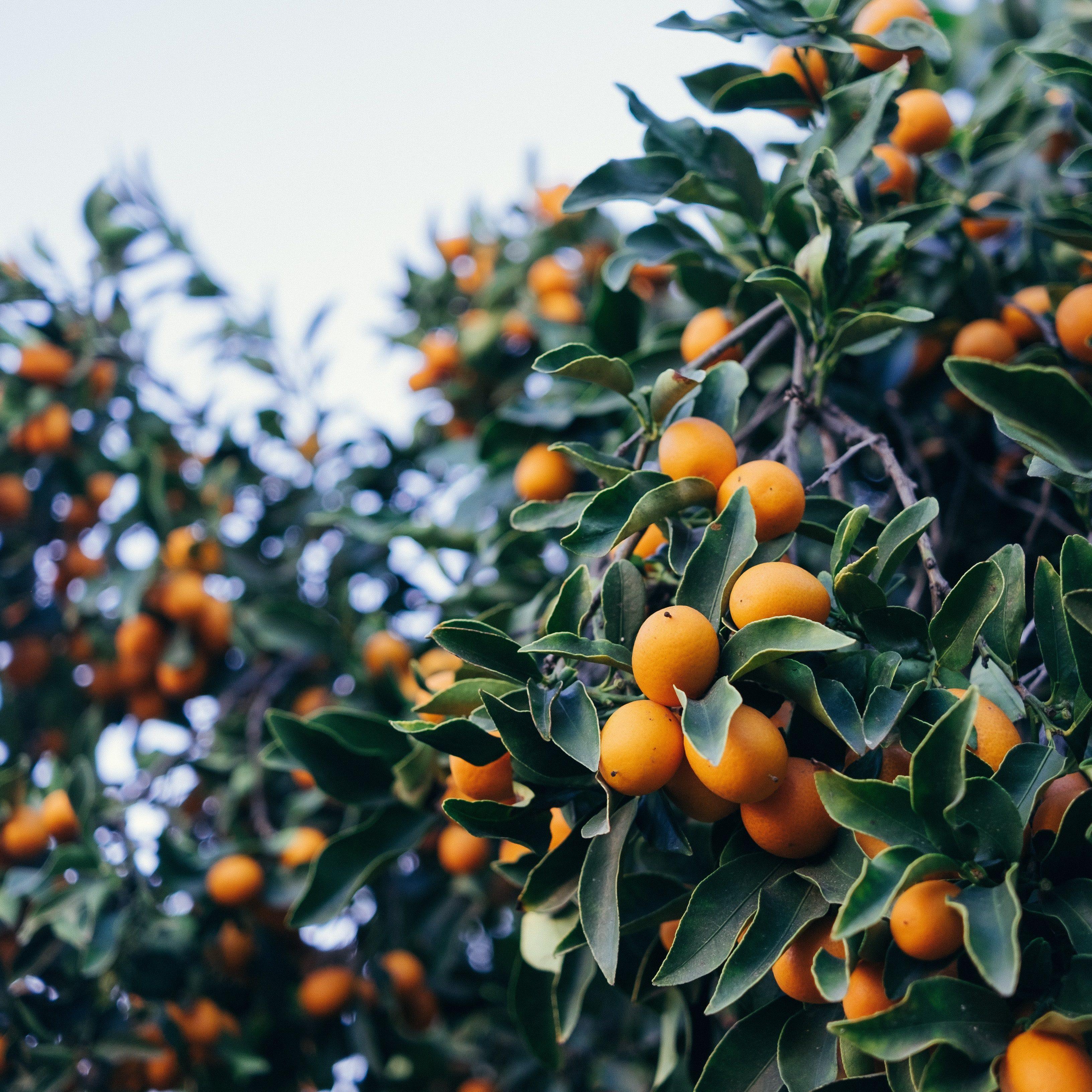 kumquat_01
